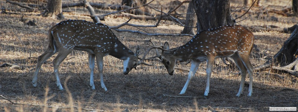 Deer Fight | Ranathambore